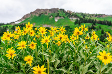 Albion Basin, Utah 2019 Famous Meadows Trail In Wildflowers Season In Wasatch Mountains With Closeup Of Many Yellow Arnica Sunflowers Flowers