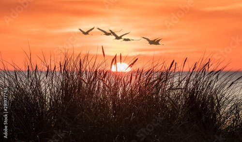 Spoed Fotobehang Vogel silhouette of birds on wheat field at sunset
