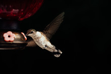 Female Ruby Throated Hummingbird Drinking From Feeder