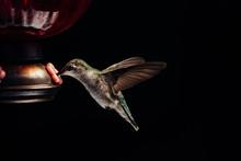 Female Ruby Throated Hummingbi...