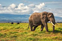 African Elephant Walking Lonel...