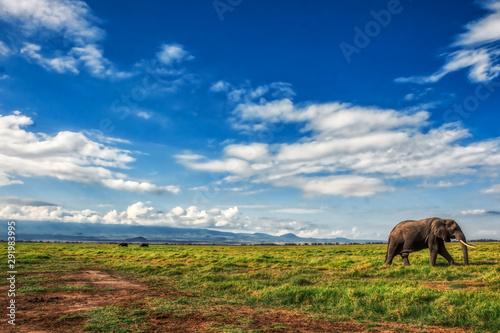 Fotografía African elephant walking lonely on the masai mara kenya