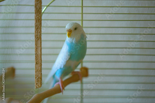 lone female parrot sits on perch in cage Canvas Print