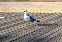 Seagull Walking The Boardwalk In Atlantic City.