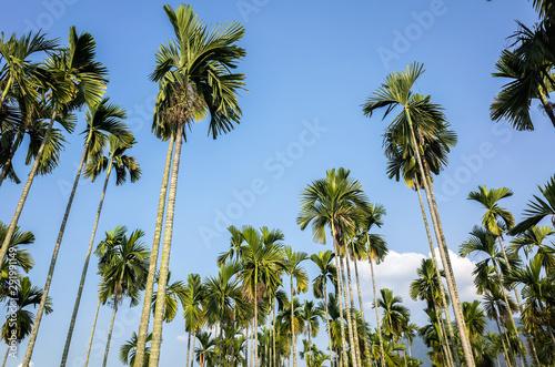 betel nut palm tree Wallpaper Mural