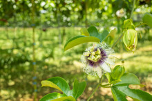 Flower Of Passion Fruit Cultivation