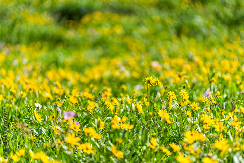 Albion Basin, Utah wildflowers summer season in Wasatch mountains with closeup o Wallpaper Mural
