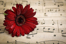 Red Gerbera Daisy  Flowers On A Musical Background