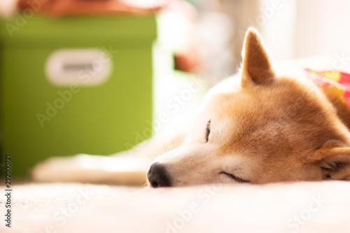 Photographie  日向ぼっこする柴犬