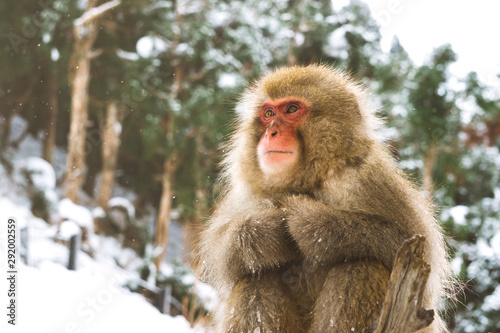 Photo Snowmonkey