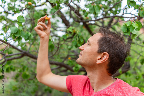Valokuvatapetti Man picking free fruit apricot from tree in orchard in Fruita Capitol Reef Natio