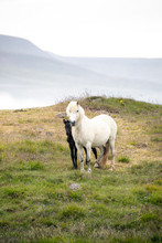 Icelandic Horse And Foal