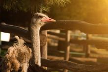 Ostrich On An Ostrich Farm In Sunlight