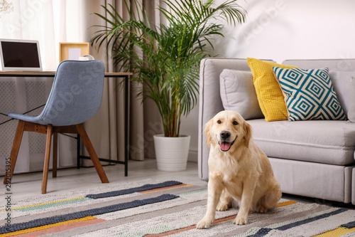 Obraz Modern living room interior. Cute Golden Labrador Retriever near couch - fototapety do salonu