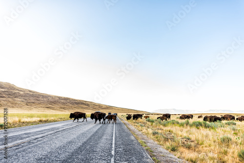 Wide angle view of many wild bison herd crossing road in Antelope Island State P Fototapet