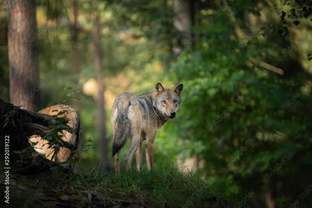 Fototapeta wolf in the wild during Sunrise