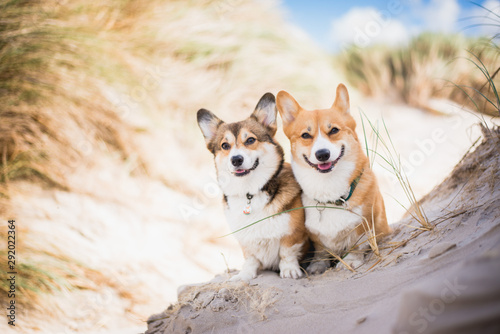 Two welsh corgi pembroke dogs sitting next to each other on the beach at the sea Wallpaper Mural