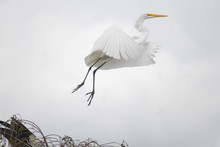 Great White Egret In Everglade...