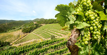 Grapevine With White Wine In Vineyard At A Winery In Tuscany Region Near Florence, Italy Europe