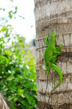 Green Anole Lizards Mating