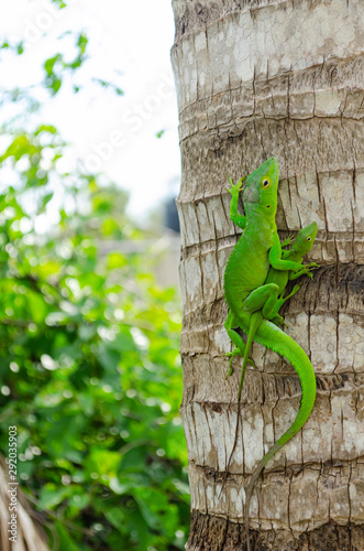 Green Anole Lizards Mating Canvas Print
