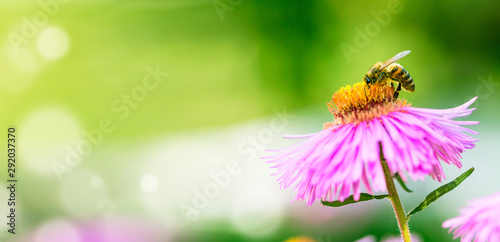 Photo Stands Bee Lilac flower with a bee collecting pollen or nectar. Banner style artistic fantastic beautiful nature image. Bee macro close up summer natural image with copy space.