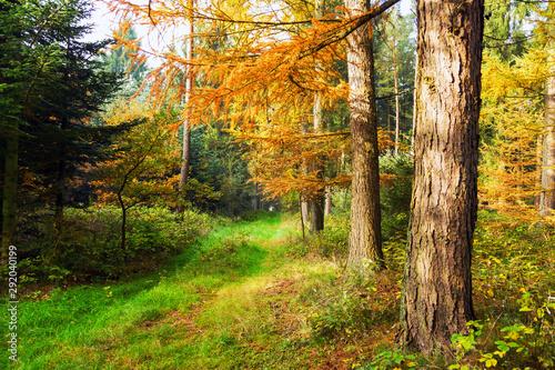 goldener Herbstwald mit Lärchen und Waldweg, waldbaden als Meditation Wallpaper Mural