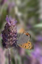 Yellow Butterfly With Black Dots On Wild Lavender. Colias Croceus Is A Diurnal Butterfly That Belongs To The Piéridos Family.