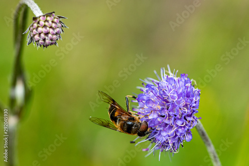 Mimic bee collecting pollen from a wild purple flower Fototapet