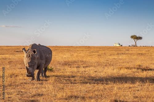 White Rhino in Ol Pejeta Conservancy with Safari Vehicle in the Background Slika na platnu
