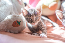 Small Gray Striped Kitten Is L...