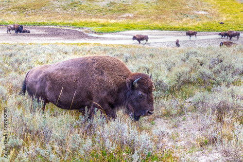 plakat Herd of Bisons Grazing at Yellowstone National Park