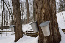 Buckets On Old Sugar Maple Trees In Ontario Forest To Collect Sap For Syrup