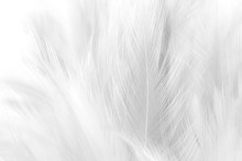 Closeup White Feathers Line Te...