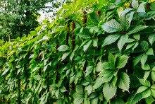 Parthenocissus Plant On The Ir...
