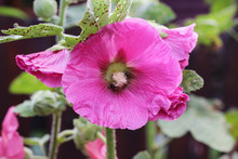 Alcea Flower Commonly Known As...
