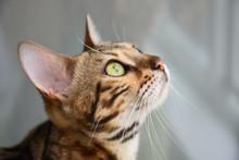Portrait Of A Beautiful Cat, C...