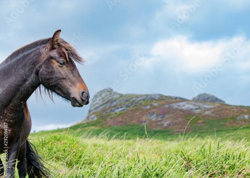 Carta da parati Dartmoor pony