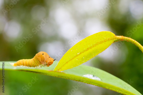 Photo brown caterpillar on leaf , Moth Caterpillar eating leaf