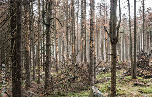 Obraz na plátne Durch Trockenheit und Borkenkäfer großflächig abgestorbene Wälder im Harz, Ficht