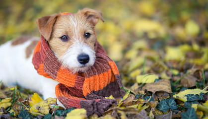 Cute happy jack russell pet dog puppy as wearing scarf - christmas card, cold winter or autumn concept, web banner with copy space