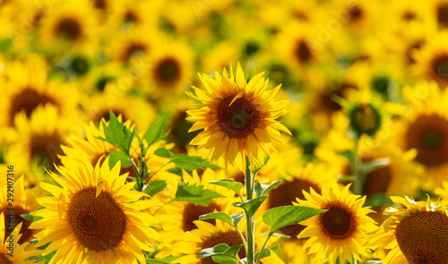 Cadres-photo bureau Tournesol Sunflowers grow in the field