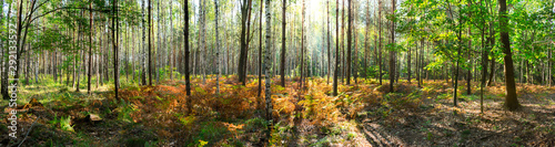 Fototapeta Beautiful forest in autumn with bright sun shining through the trees - wide panoramic view. obraz