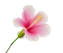 Hibiscus Or Rose Mallow Flower...