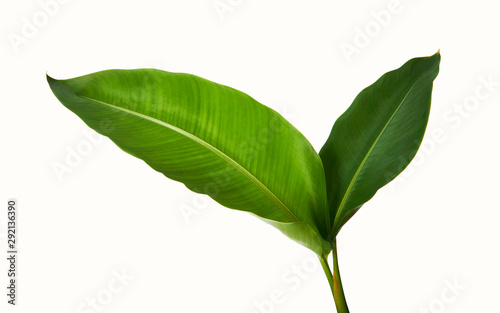 Photo Stands Plant Strelitzia reginae, Heliconia, Tropical leaf, Bird of paradise foliage isolated on white background, with clipping path