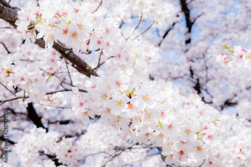 山梨県・笛吹市の桜 2 Canvas Print