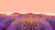 Leinwandbild Motiv Lavender field in the sunset, background, texture.