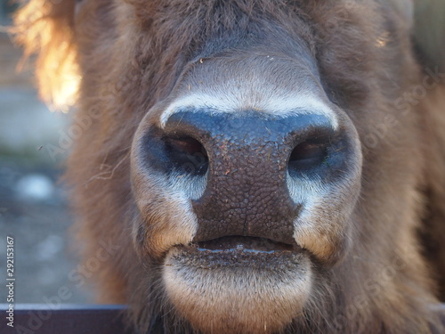 Photo  bison face