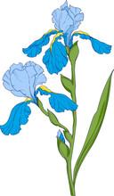 Blue Iris, Flower Branch With Buds Ink Art, Floral Botanical Vector Illustration.