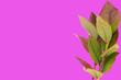 Leinwanddruck Bild - blueberry leaves isolated on pink background